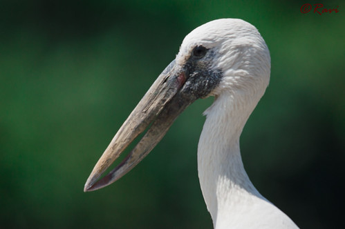 Asian Openbill Stork by RaviBangalore