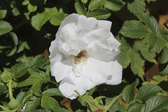 flower, plant, flora, rosa multiflora, petal,