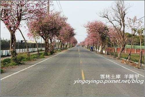 雲林土庫_羊蹄甲20130309_i2785