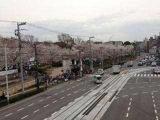 Cherry blossoms at Asukayama