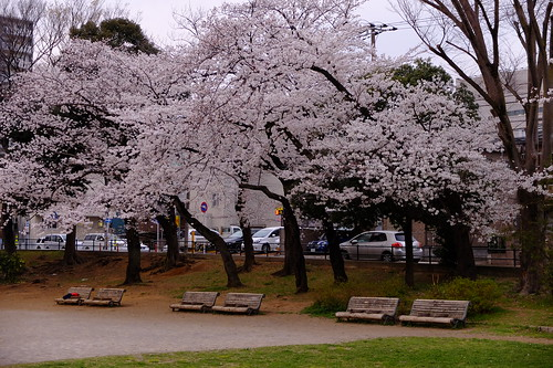 park surrounded by cherry blossoms