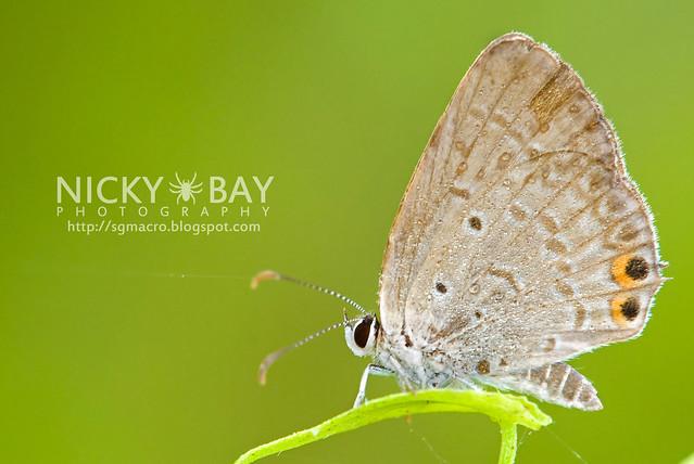 Cycad Blue (Chilades pandava) - DSC_7360
