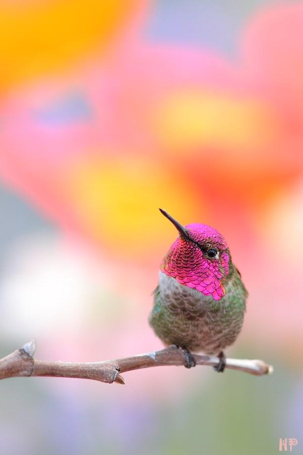 Anna's Hummingbird 032813
