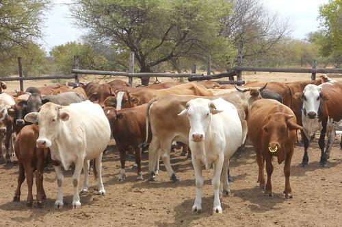 Botswana Mahalapye cattle