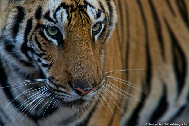 A stunning tiger from Bandhavgarh National Park, India