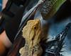 20160824-08_Bearded Dragon Lizard