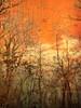 The Orange Trees on the Lake
