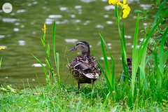 #duck #bird #nature #Green #pentax #bokeh #parc #travelphotography #nature #water