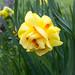Double Daffodil