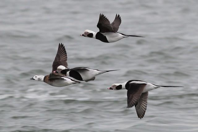 Long-tailed Ducks--DE