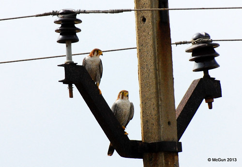 Red Necked Falcons by McGun