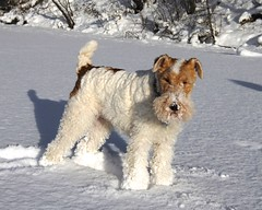 schnoodle(0.0), pumi(0.0), norfolk terrier(0.0), norwich terrier(0.0), irish soft-coated wheaten terrier(0.0), goldendoodle(0.0), dog breed(1.0), animal(1.0), dog(1.0), snow(1.0), pet(1.0), lagotto romagnolo(1.0), glen of imaal terrier(1.0), wire hair fox terrier(1.0), lakeland terrier(1.0), welsh terrier(1.0), irish terrier(1.0), fox terrier(1.0), carnivoran(1.0), terrier(1.0), airedale terrier(1.0),