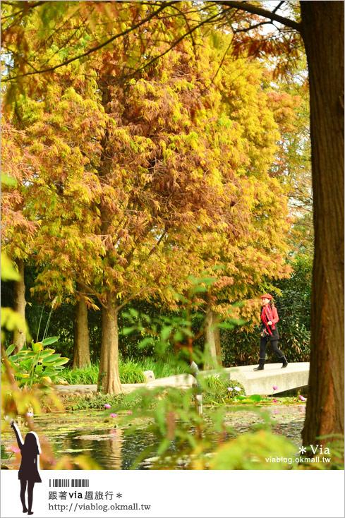 【田尾公路花園】彰化菁芳園休閒農場~冬季最美的落羽松登場!