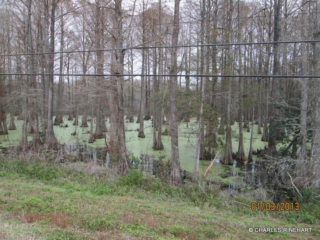 Cypress Swamp Area In Brooksville Florida
