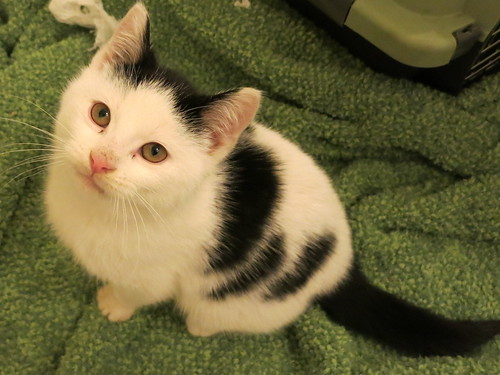 Adoptable from Toronto Cat Rescue (Jan 21/2013) - Corwin