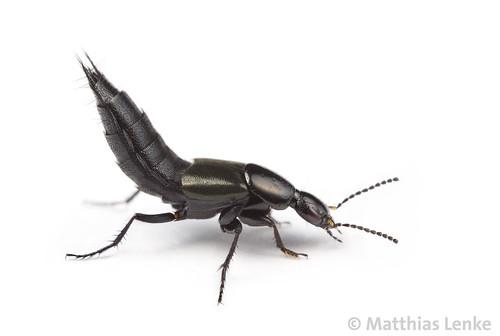 Rove beetle / Kurzflügler / Staphylinidae