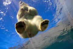 CPH ZOO The Arctic Ring