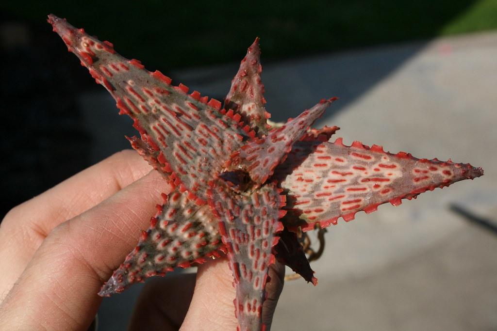 Aloe 'Starfire'