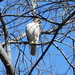 Hawk! by shawlcat