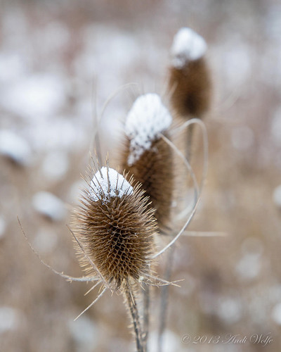 Teasel by andiwolfe