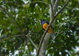 Guianan Trogon (Trogon violaceus) male