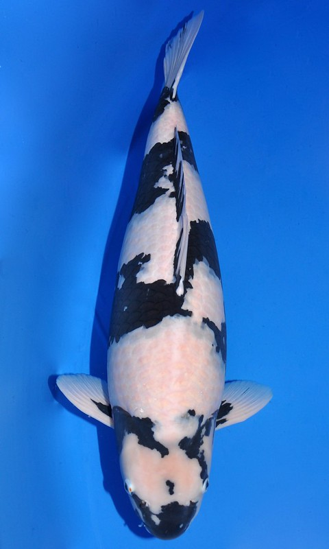 Best in Variety Shiro Utsuri - bred by Omosako Koi Farm