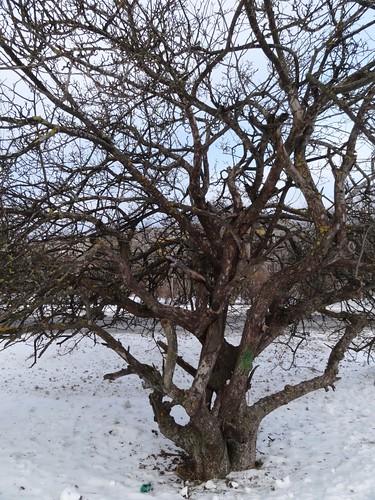 Apfelbaum Tallinn