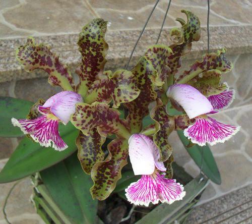 C. schilleriana verde 'Serra Verde' by moises.bravim