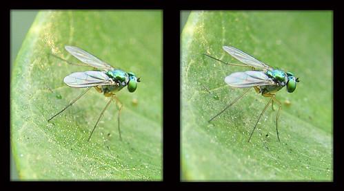 3d stereopair longleggedfly crossview dolichopodidae