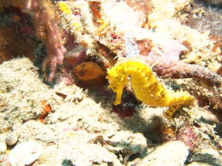 Tiger tail seahorse