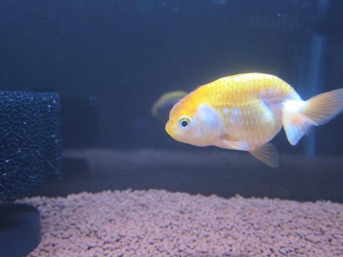 Goldfish Mar. 2, 2013 (6)