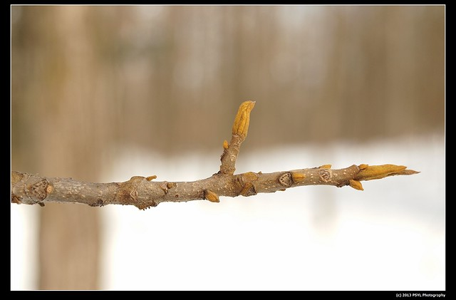 Bitternut Hickory (Carya cordiformis) buds
