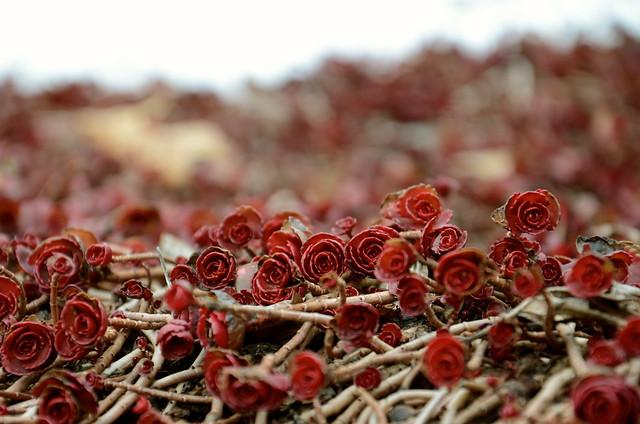 Sedum Spurium Voodoo Sedum Spurium 39 Voodoo 39 Thanks
