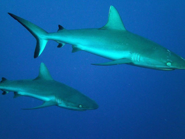 Beautiful reef sharks