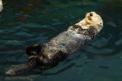 animal, marine mammal, marine biology, mustelidae, fauna, sea otter,
