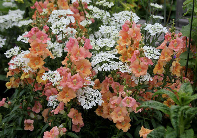 Antirrhinum 'Chantilly Peach' and Orlaya grandiflora