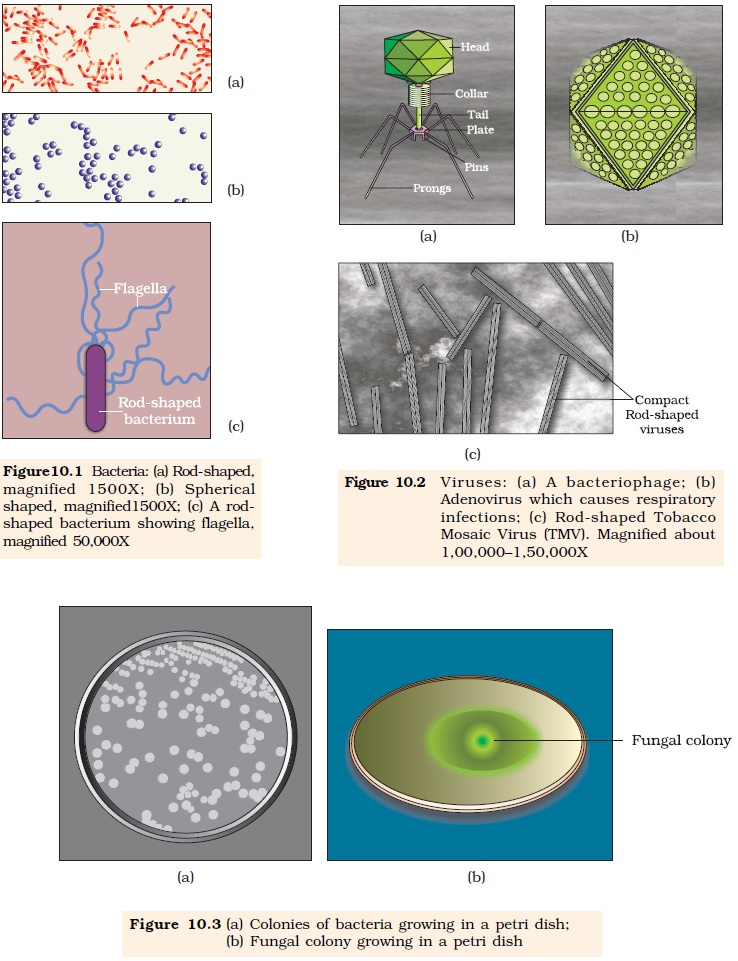 NCERT Class XII Biology Chapter 10 : Microbes in Human