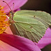 Brimstone on a dahlia by Foto Martien