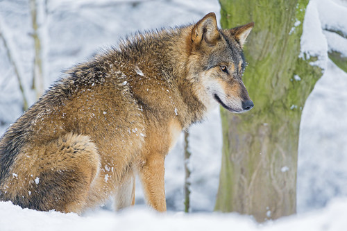 Wolf sitting in the snow by Tambako the Jaguar