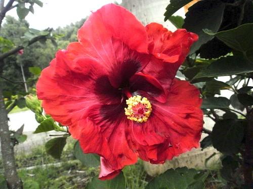 flor hibiscus hibisco es hibiscusrosasinensis espíritosanto regis púrpura rosasinensis silbar ibiraçu ibiraçues florpúrpura regissilbar