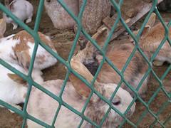 八木牧のウサギ