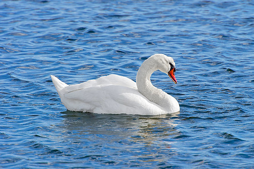 Swan by Armadillo Commander, on Flickr via I {heart} Rhody