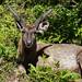 Sambar, Horton Plains National Park (Rajan Jolly)