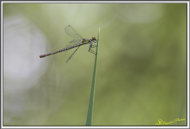 Agrion 02