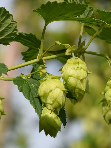 Hop (Humulus lupulus)