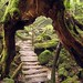 lori-rocks: Primeval Forest, Shiratani Unsuikyo, Japan by roadlessco