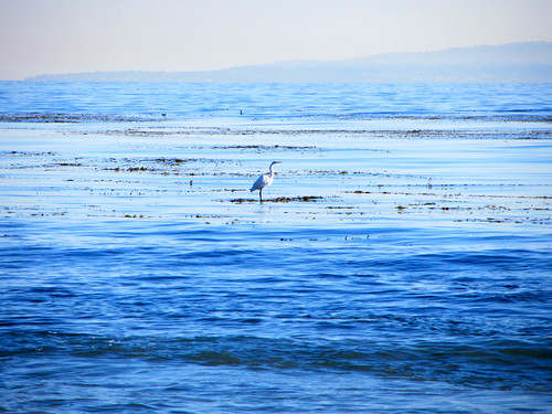 egret on the kelp bed