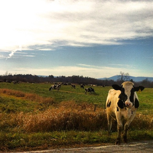 cow vermont cows farm country dairy bovine