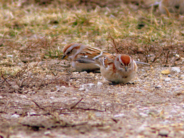 American Tree Sparrows 5-20130110