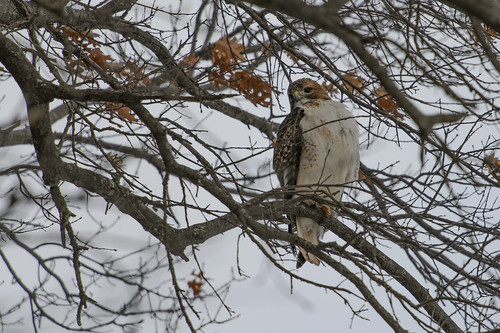 Red-tailed Hawk_44215.jpg